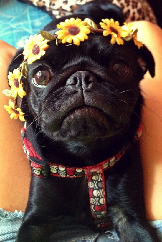 pug flower crown