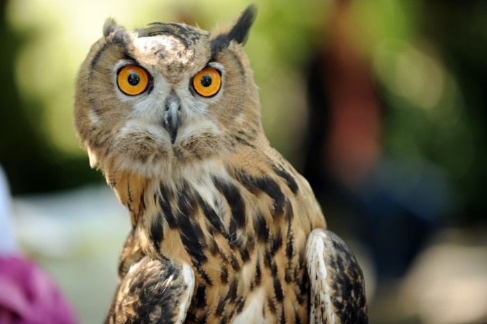 A Eurasian eagle owl looks at students from a local school after the release of a 5-month-old red-tailed hawk September 29, 2010 in New York's Central Park. Wildlife rehabilitators and park rangers showed various birds during a program for two elementary school classes. AFP PHOTO/Stan Honda (Photo credit should read STAN HONDA/AFP/Getty Images)